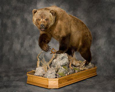 Bear Taxidermy, Bear Taxidermist, Brown Bear Taxidermy Inc.