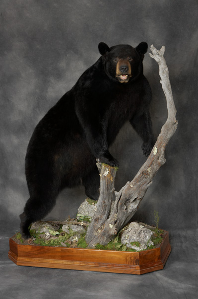 Bear Taxidermy Full Body Mount Specialists Pennsylvania Brown Bear Taxidermy Studios Pine Grove PA.